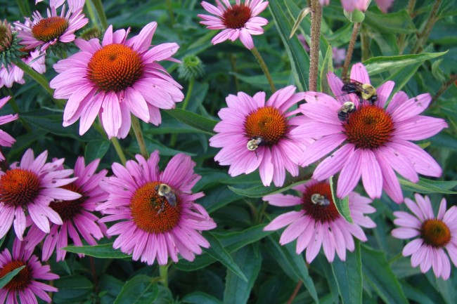 Electrochemical Determination of the Antioxidant Activity in Echinacea Purpurea Roots Using Square Wave Voltammetry