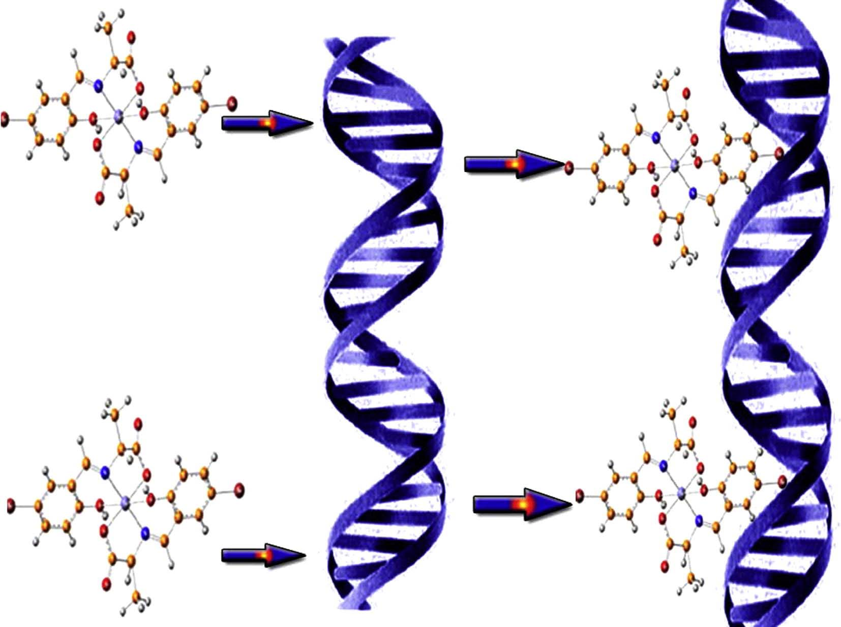 DNA binding ability mode, spectroscopic studies, hydrophobicity, and in vitro antibacterial evaluation of some new Fe(II) complexes bearing ONO donors amino acid Schiff bases