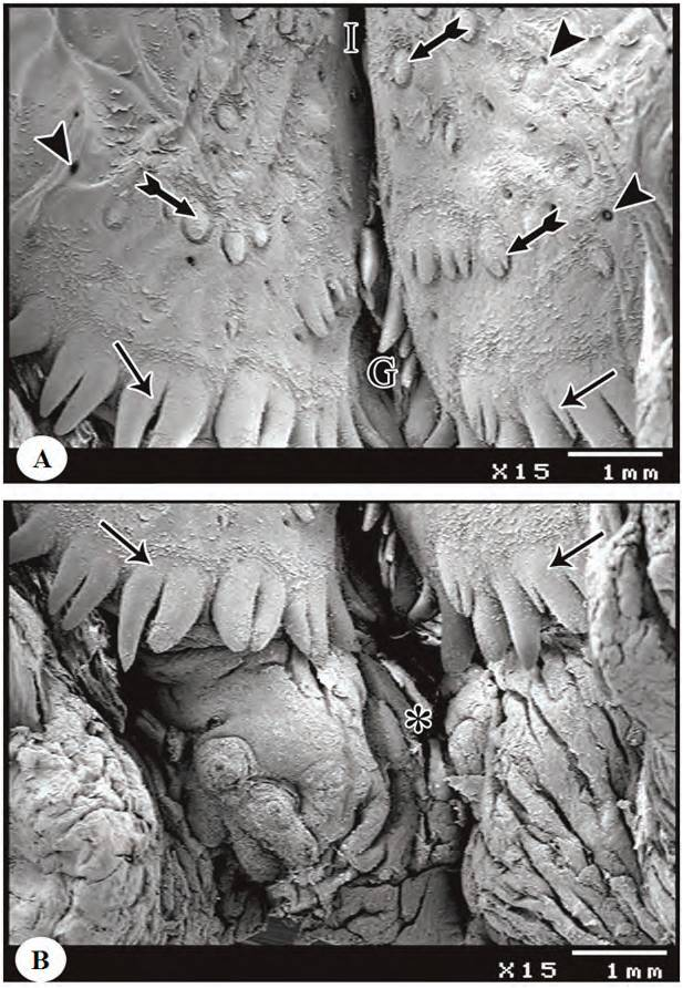 Gross Anatomical, Light and Scanning Electron Microscopic Studies on the Pharyngeal Roof of Turkey (Meleagris gallopavo): Comparative Study
