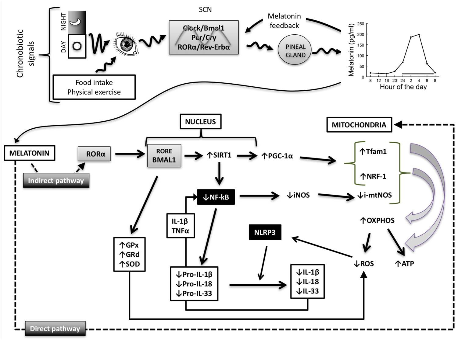 Melatonin, clock genes and mitochondria in sepsis