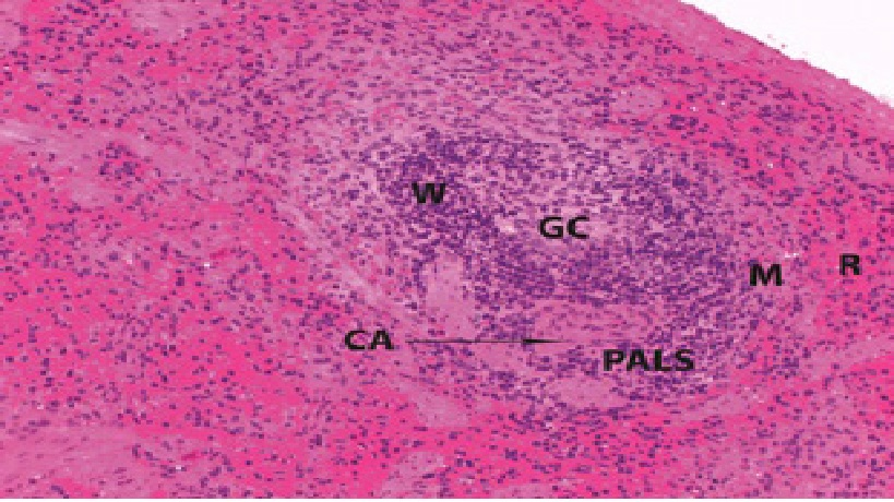 Histological and Immunohistochemical Study of the Possible Protective Effect of Ascorbic Acid on the Toxic Effect of Monosodium Glutamate on the Spleen of Adult Male Albino Rat