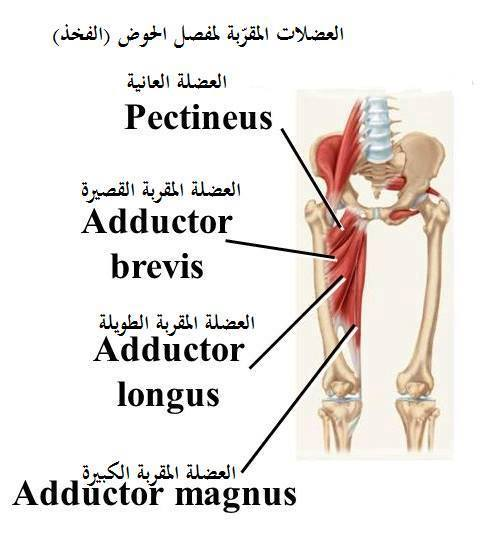 Adductors Muscles Rupture