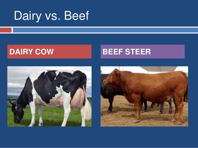 القيام بتحكيم ماشية اللحم واللبن الموجودة بمزرعة الإنتاج الحيوانى التابعة لكلية الزراعة بمدينة الكوامل