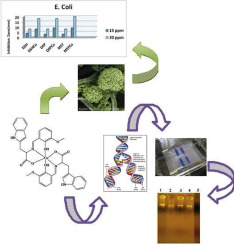 Synthesis, structure elucidation, biological screening, molecular modeling and DNA binding of some Cu(II) chelates incorporating imines derived from amino acids