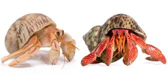 Effect of geographic location and sexual dimorphism on shield shape of the Red Sea hermit crab Clibanarius signatus using geometric morphometric approach.